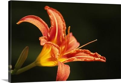 Tiger Lily Flower Blossom