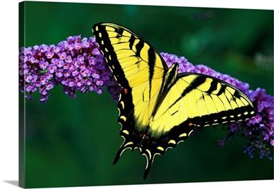Tiger Swallowtail Butterfly On Blooming Purple Flower