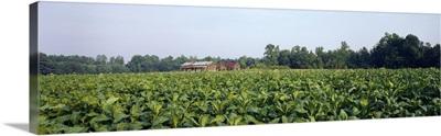 Tobacco Farm Nash Co NC