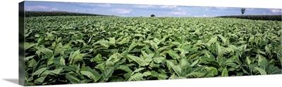 Tobacco Field Lancaster County PA