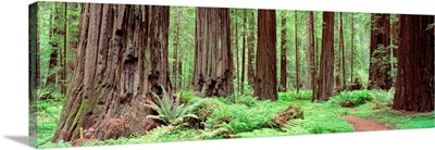 Trail, Avenue Of The Giants, Founders Grove, California