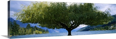 Tree at the lakeside, Lake Wakatipu, Queenstown, Otago Region, South Island, New Zealand