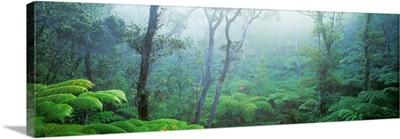 Tree Fern Ohia Forest Hawaii Volcanos National Park Big Island Hawaii HI