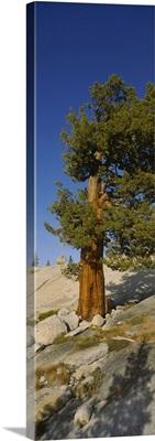 Tree on hillside, Olmsted Point, Yosemite National Park, California