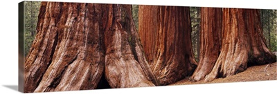 Trees at Sequoia National Park, California