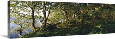 Trees at the seaside, Kenmare, County Kerry, Munster, Republic of Ireland