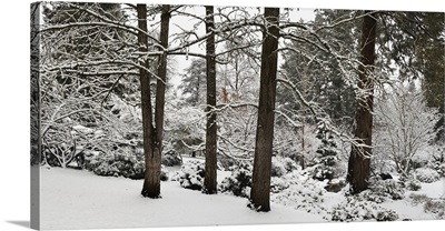 Trees covered with snow in a forest, Ashland, Jackson County, Oregon
