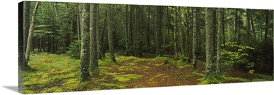 Trees in a forest, Acadia National Park, Maine