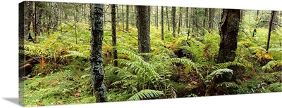 Trees in a forest, Adirondack Mountains, New York State