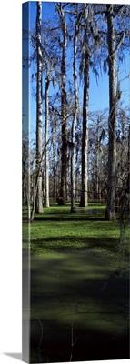 Trees in a forest, Bijou, Louisiana