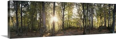 Trees in a forest, Black Forest, Freiburg im Breisgau, Baden Wurttemberg, Germany