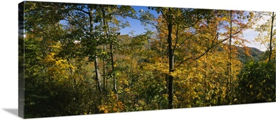 Trees in a forest, Blue Ridge Mountains, Outside of Spruce Pine, North Carolina