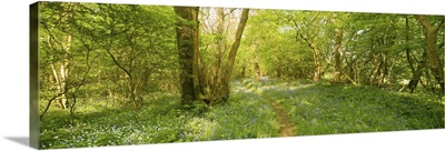 Trees in a forest, Foxley Wood, Norfolk, England
