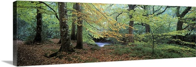 Trees in a forest, River Teign, Dartmoor, Devon, England