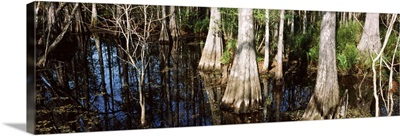 Trees in a forest, Six Mile Cypress Slough Preserve, Fort Myers, Florida
