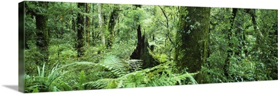 Trees in a forest, Te Urewera National Park, North Island, New Zealand