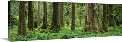 Trees in a rainforest, Hoh Rainforest, Olympic National Park, Washington State