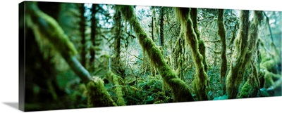Trees in a rainforest, Olympic National Park, Olympic Peninsula, Washington State,