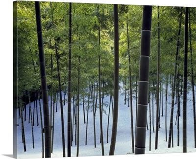 Trees in a snow covered forest, Kyoto City, Kyoto Prefecture, Honshu, Japan