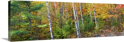Trees in autumn, Hiawatha National Forest, Alger County, Michigan
