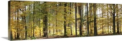 Trees in autumn, Hohenlohe, Baden-Wurttemberg, Germany