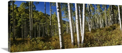 Trees in the forest, Colorado