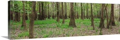 Trees in the forest, Congaree National Park, South Carolina