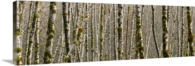 Trees in the forest, Red Alder Tree, Olympic National Park, Washington State