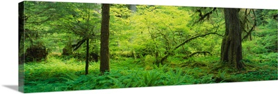 Trees in the forest, Soleduck Valley, Olympic National Park, Washington State
