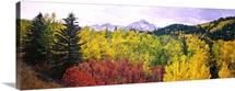 Trees on a landscape, San Juan Mountains, Colorado