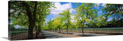Trees on both sides of a road, Napa Valley, California,