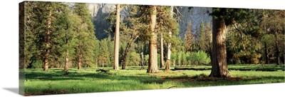 Trees Yosemite Valley CA
