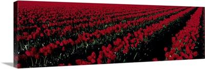 Tulip Field Mount Vernon WA