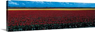 Tulip field near Spalding Lincolnshire England
