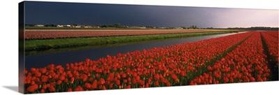 Tulip Field Netherlands
