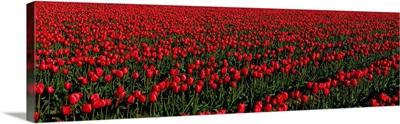 Tulip Fields WA
