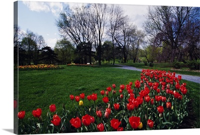 Tulip flower bed blooming in park, New York