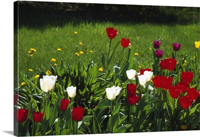 Tulip flowers blooming in grass, New York