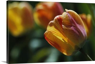 Tulip flowers blooming, selective focus close up.