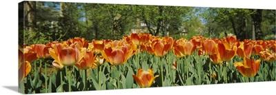 Tulip flowers in a garden, Sherwood Gardens, Baltimore, Maryland