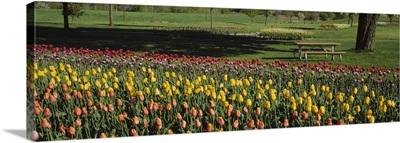 Tulip flowers in a park, Grand Rapids, Michigan