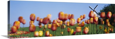 Tulip Flowers With A Windmill In The Background, Holland, Michigan
