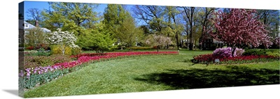 Tulips and cherry trees in a garden, Sherwood Gardens, Baltimore, Maryland