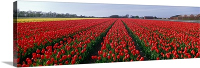 Tulips Egmond Netherlands