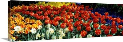 Tulips Holland