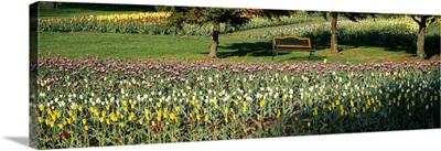 Tulips in a field, Grand Rapids, Michigan