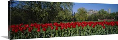 Tulips in a garden, Boston Public Garden, Boston, Massachusetts