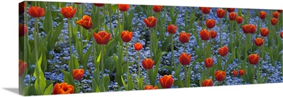 Tulips in a garden, Butchart Gardens, Victoria, Vancouver Island, British Columbia, Canada