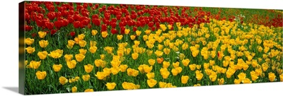 Tulips Lake Constance South Germany