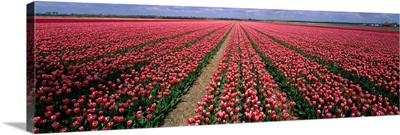 Tulips near Alkmaar Netherlands